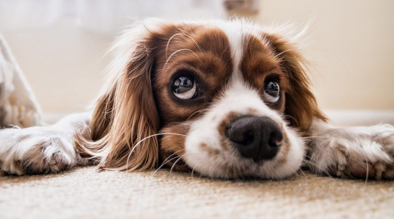 koszt psa w Holandii