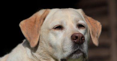 labrador diagnoza koronawirus Holandia 2020 kwiecień