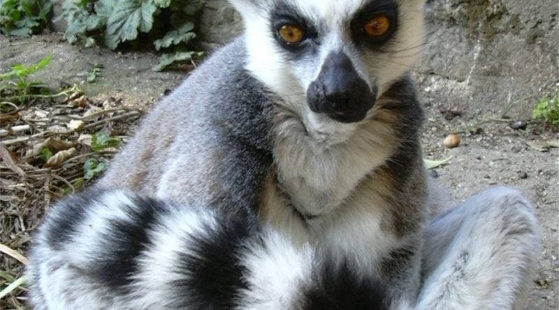lemur Holandia 2020