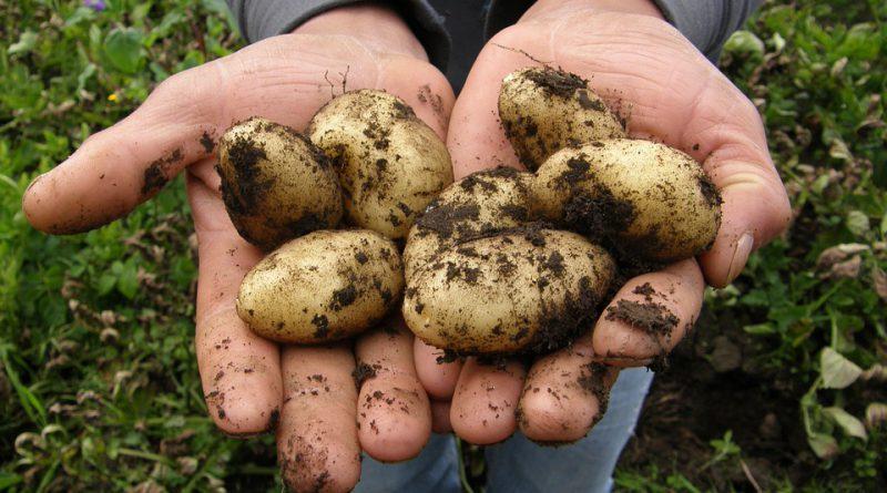 koronawirus Holandia ziemniaki kwiecień 2020