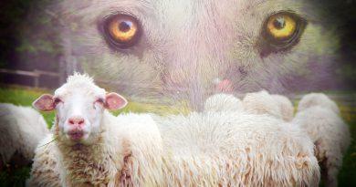 Holandia Brabancja wilk owce 2020 maj