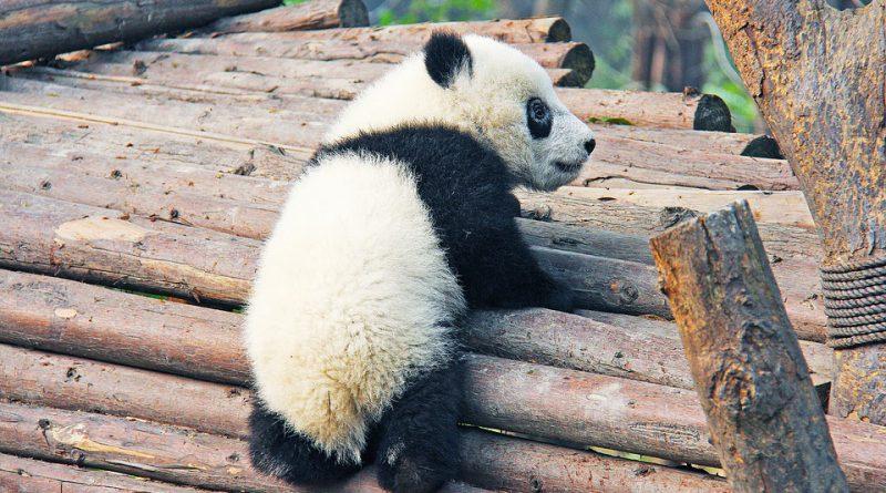 panda wielka urodziny Holandia 2020