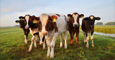 Holandia pastwisko krowy dobrostan 2020