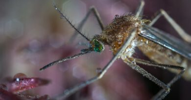 Holandia komary choroba wirus 2020