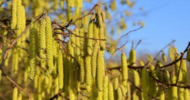 Holandia alergia leszczyna olsza pyłki katar sienny 2020 2021