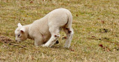 Holandia owce jagnięta wirus choroba genetyczna