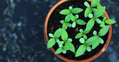 Holandia marihuana uprawa cannabis plant 2021