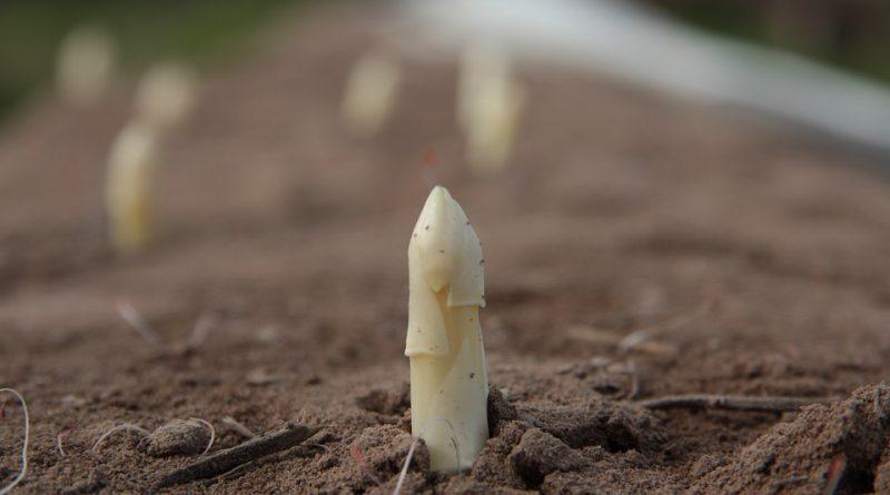 Holanbdia szparagi rolnictwo uprawa prawda ciekawostki