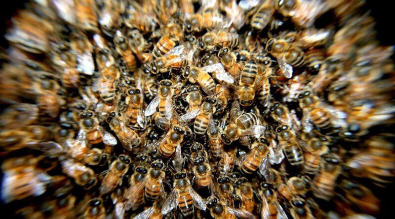 Holandia pszczoły rój choroba zagłada rój zgnilec śmierć